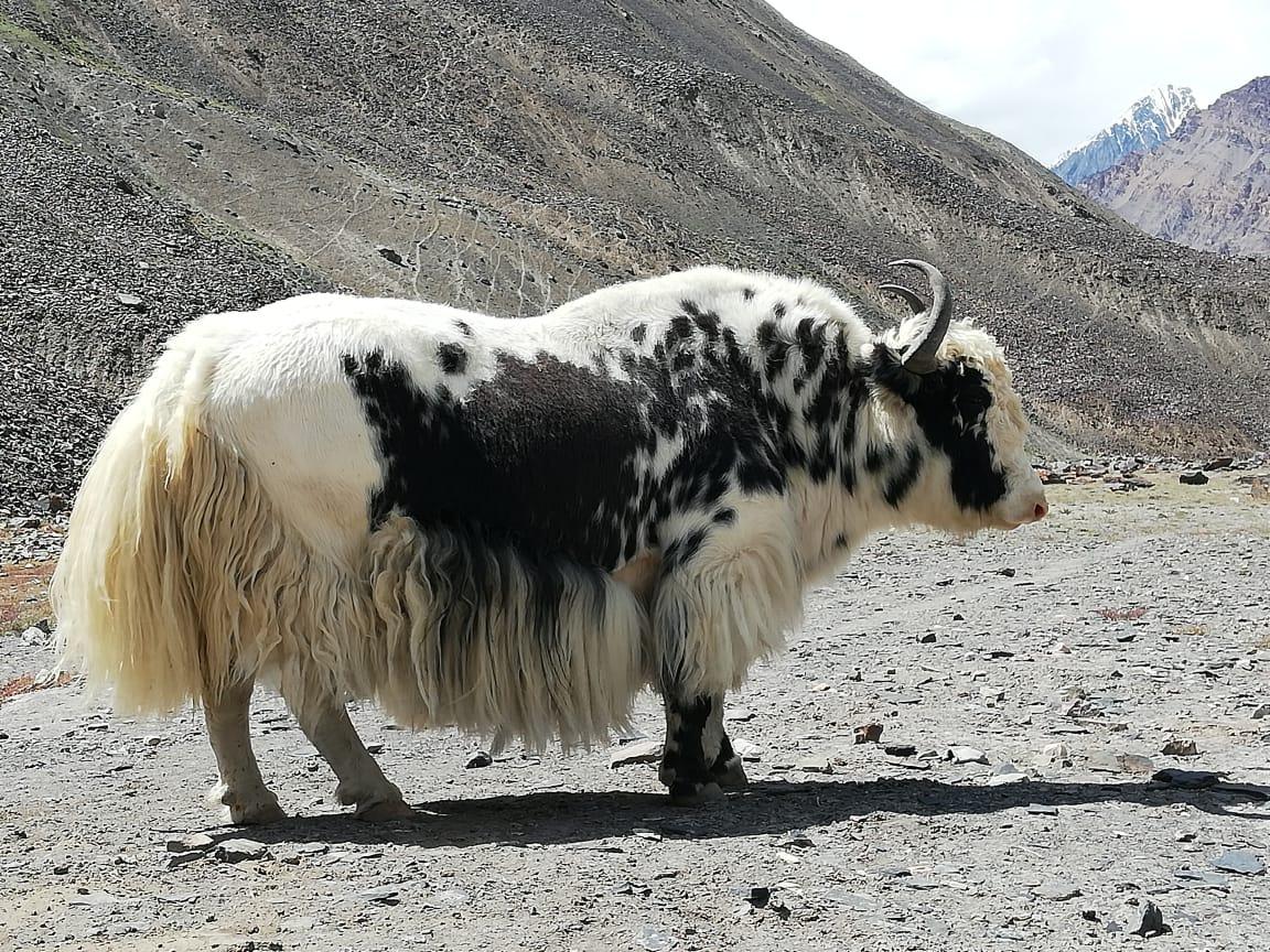 yak at Shimshal Pakistan